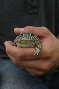 Frog in Badlands National Park, WY