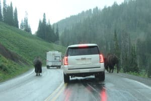 Bison Jam, Yellowstone National Park